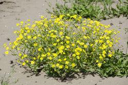 Frühlings-Greiskraut: Pflanze– Zeynel Cebeci, CC BY-SA 4.0