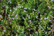 Sherardia arvensis: Frankreich, Roussillon, Torderes, 23.04.2015 (Foto: Rolf Wißkirchen)