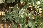 Silybium marianum - Botanischer Garten Mainz IMG 5428.JPG