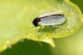 Simulium ornatum (Kriebelmücken – Simuliidae)