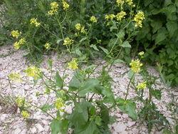 Acker-Senf: Pflanze– Olivier Pichard, CC BY-SA 3.0