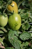 Smart-tomato-speck.JPG
