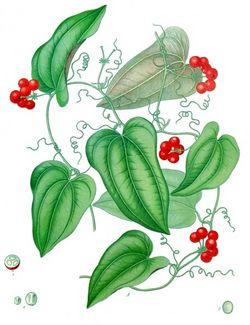 alt=Description de l'image Smilax aristolochiifolia - Köhler–s Medizinal-Pflanzen-130.jpg.