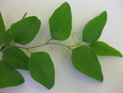 alt=Description de l'image Smilax glauca 7.JPG.