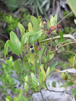 alt=Description de l'image Smilax laurifolia.jpg.