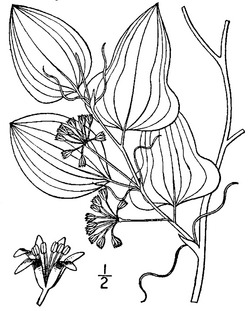 alt=Description de l'image Smilax pseudochina Britton-Brown.tif.