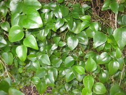 alt=Description de l'image Smilax rotundifolia 8.JPG.