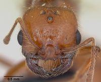 Solenopsis geminata casent0055762 head 1.jpg