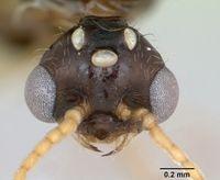 Solenopsis geminata casent0173276 head 1.jpg