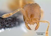Solenopsis molesta casent0106027 head 1.jpg