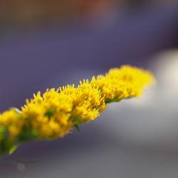 Teil des Blütenstandes– Alice Kracht, CC BY-SA 4.0
