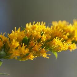 Zahlreiche Blütenkörbe– Alice Kracht, CC BY-SA 4.0