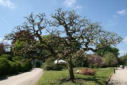 Japanischer Schnurbaum: Pflanze– Jean-Pol GRANDMONT, CC BY-SA 3.0