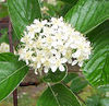 Sorbus aria flowers modified commons image JR Press.jpg