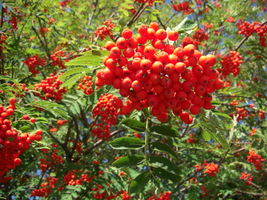Sorbus aucuparia fruits JR Press.JPG