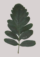 Sorbus hybrida single leaf grey background JR Press.jpg