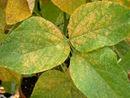 Soybean rust.jpg