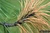 Sphaeropsis sapinea IPM1241526.jpg