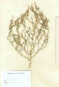 Spirobassia hirsuta: fruchtende Pflanze, Dänemark, Insel Röm, leg. C.T. Timm (Herb. HBG) (Foto: Rolf Wißkirchen)