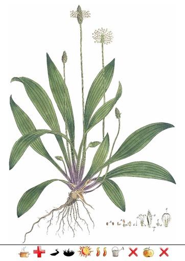 Spitz-Wegerich (Pflanzentafel Natura Miriquidica e.V.).pdf