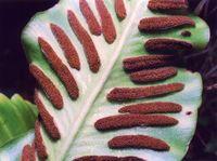 Strichförmig (Asplenium scolopendrium)
