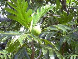 alt=Description de l'image Starr 031209-0031 Artocarpus altilis.jpg.