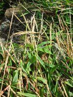 Starr 050223-4357 Digitaria ciliaris.jpg