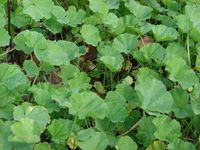 Starr 070302-4941 Malva parviflora.jpg