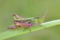 Heidegrashüpfer: Weibchen - Gilles San Martin, CC BY-SA 2.0