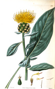 Stizolophus balsamita.png