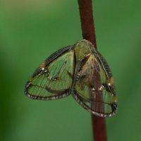 Euricania fascialis