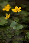Blüte: Sumpf-Dotterblume– Caltha palustris