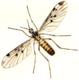 Pfriemenmücke Sylvicola fenestralis