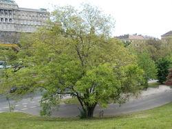Japanischer Schnurbaum: Pflanze– Globetrotter19, CC BY-SA 3.0