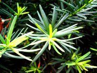 Taxus-needles.jpg