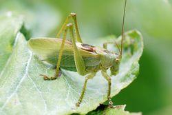 Zwitscherschrecke: Männchen - Gilles San Martin, CC BY-SA 2.0