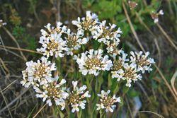 Acker-Hellerkraut: Blüte– Enrico Blasutto, CC BY-SA 4.0