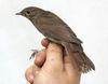 Thrush nightingale2 by Daniel Bastaja.jpg