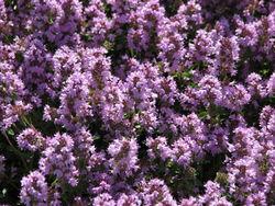 Blüten– Kor!An, CC BY-SA 3.0