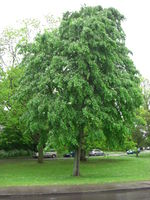 Tilia petiolaris tree JR Press 277.jpg