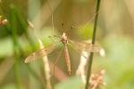 T. fulvipennis ♀♀ (SG Acutipula)