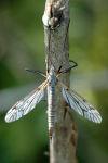 T. hortorum ♀♀ (SG Vestiplex)