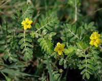 Tribulus terrestris (Puncture Vine or Gokharu) in Hyderabad W IMG 8890.jpg
