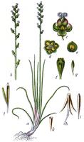 Triglochin palustris