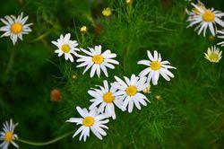 Geruchlose Kamille: Blüte– Radio Tonreg, CC BY-SA 2.0