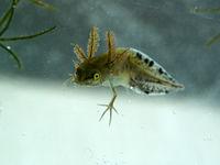 mid size larva