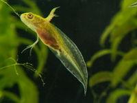 young larva