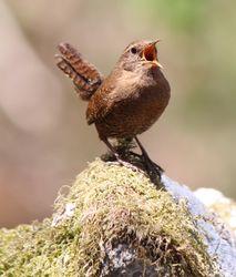 Zaunkönig: Alttier (adult) - Alpsdake, CC-BY-SA 3.0