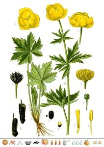 Pflanzentafel Trollblume  als PDF-Datei