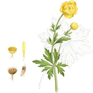 Portraitbild Trollblume: 1.der obere Teil der Pflanze. 2.Ein grundständiges Blatt. 3.Honigblätter, Pollenblätter und Pollenwege. 4.ein Honigblatt (4/1). 5.Reife Hörnchen (1/1). 6.Hörnchen (1/1).—Abbildung nach Tafle 175 aus Mentz & Ostenfeld (Nordens Flora Bd.1, 1917-1923) verändert